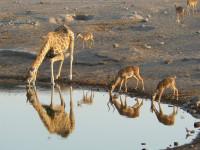 1280px-Giraffe_and_Black-faced_Impalas_drinking,_Etosha_National_Park,_Namibia