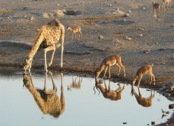 1280px-Giraffe_and_Black-faced_Impalas_drinking,_Etosha_National_Park,_Namibia