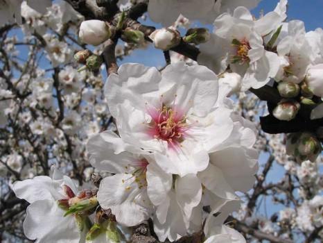 Agrigento-Mandorlo-in-fiore
