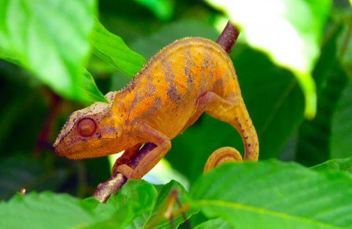 Camaleonti-Madagascar