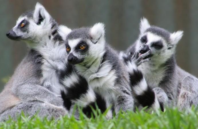 Lemur_catta_01-e1460647505119-800x600