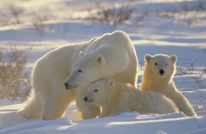 Orsi-polari