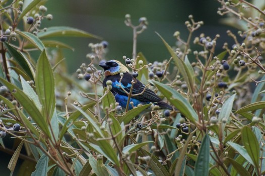 uccello-selva-negra