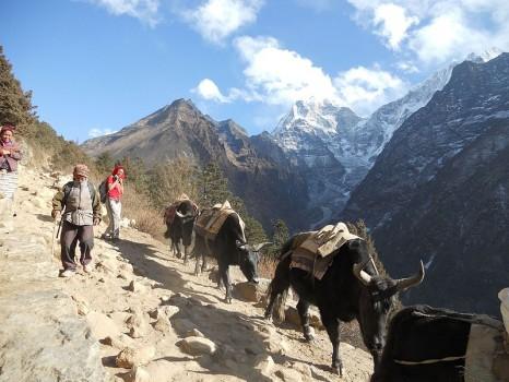 yak_nepal