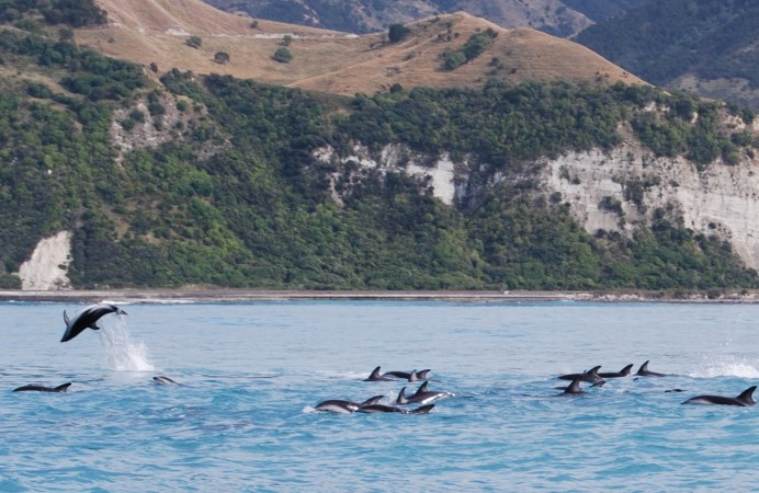dusky dolphins off the coast