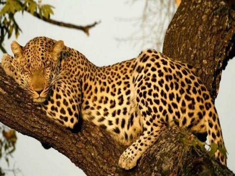 leopard_big