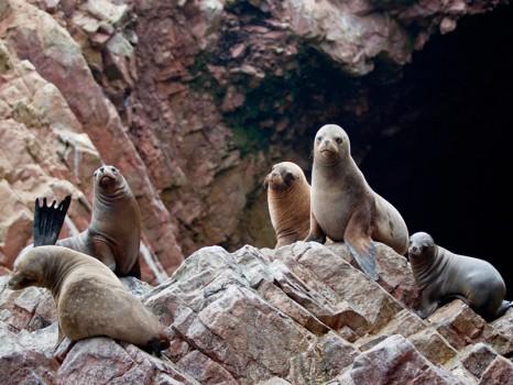 lobos-marinos-islas-ballestas-paracas-ica