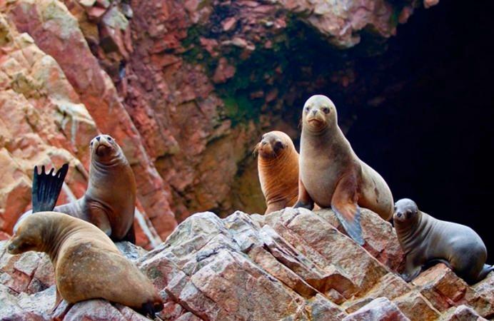 lobos-marinos-islas-ballestas-paracas-ica-692x450