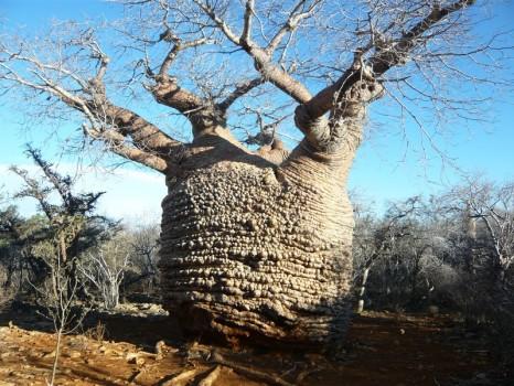 madagascar_baobab-466x350