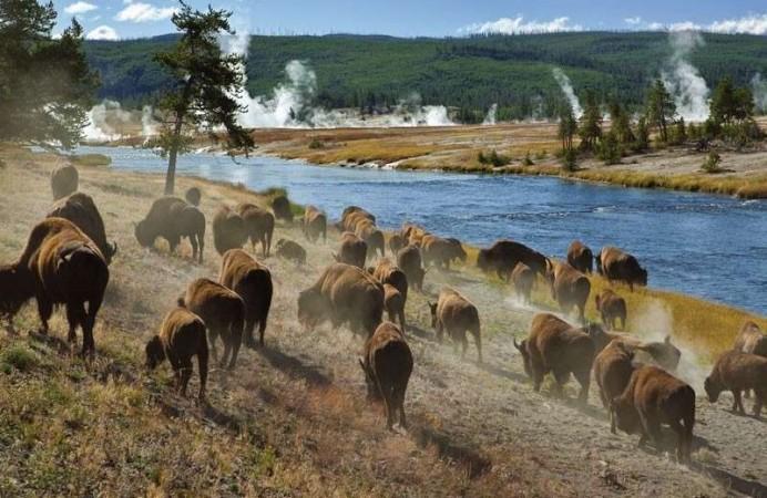 una-mandria-di-bisonti